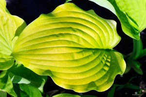 "Hosta ""Coast to Coast"" - funkia"
