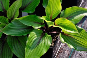 "Hosta ""Almost"" - funkia"