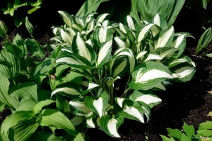 "Hosta ""Diamond Necklace"" - funkia"