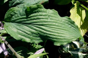 "Hosta ""Annabel Lee"" - funkia"