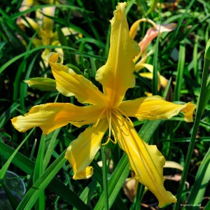 "Hemerocallis ""Summer Star"" - liliowiec"