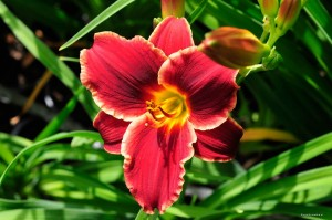 "Hemerocallis ""Pocket Change"" - liliowiec (P)"