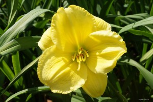 "Hemerocallis ""Burnished Ruffles"" - liliowiec"