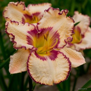 "Hemerocallis ""Antique Linen"" - liliowiec"
