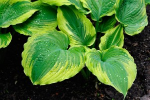 "Hosta ""The King"" - funkia"