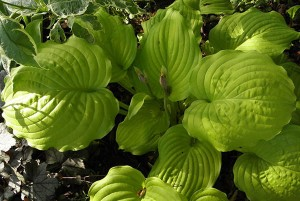 "Hosta ""Dawn's Early Light"" - funkia"
