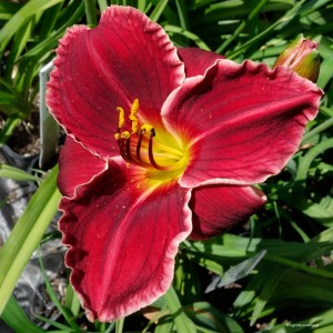 "Hemerocallis ""Comic Strip"" - liliowiec (P)"