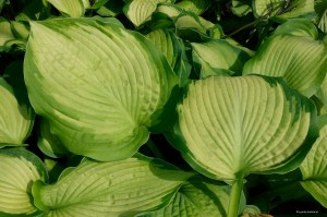 "Hosta ""Margie's Angel"" - funkia"