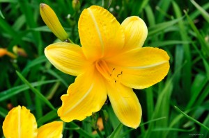 "Hemerocallis ""Cartwheels"" - liliowiec"