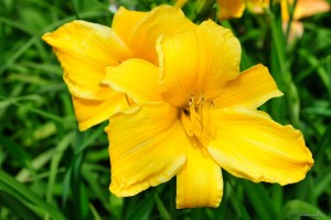 "Hemerocallis ""Full Reward"" - liliowiec (P)"