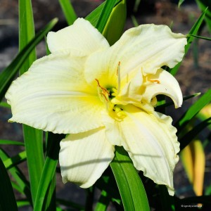 "Hemerocallis ""Newberry White Glitter"" - liliowiec"