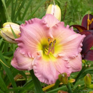 "Hemerocallis ""Absolute Treasure"" - liliowiec"