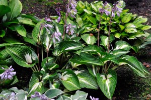 "Hosta ""Sharp Dressed Man"" - funkia"