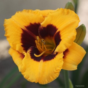 "Hemerocallis ""Blackberry Candy"" - liliowiec"