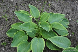 "Hosta ""Alvatine Taylor"" - funkia"
