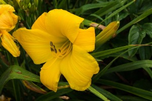 "Hemerocallis ""By Myself"" - liliowiec"