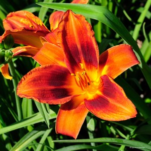 "Hemerocallis ""English Toffee"" - liliowiec"