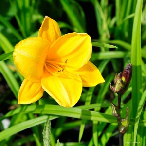 "Hemerocallis ""Little Fairy"" - liliowiec"