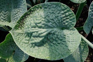 "Hosta ""Pebbles"" - funkia"