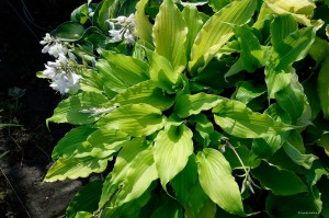 "Hosta ""Gilt by Association"" - funkia"
