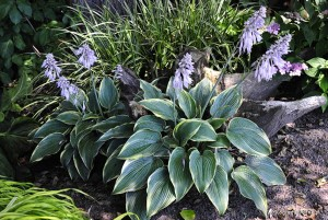 "Hosta ""Alligator Shoes"" - funkia"