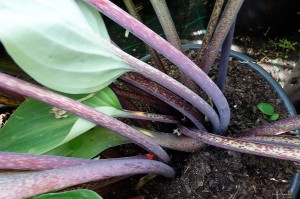 "Hosta ""Red Bull"" - funkia"