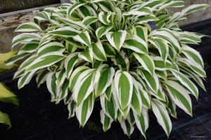 "Hosta ""White Dove"" - funkia"