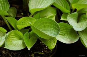 "Hosta ""Cup of Joy"" - funkia"