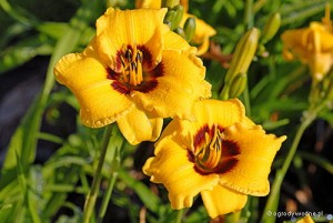 "Hemerocallis ""Siloam June Bug"" - liliowiec"