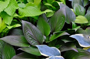 "Hosta ""First Blush"" - funkia"