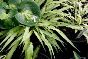 "Hosta ""Curly Fries"" - funkia"
