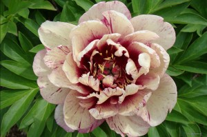 "Paeonia Itoh ""All That Jazz"" - piwonia"