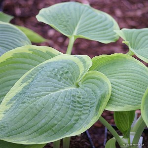 "Hosta ""His Honor"" - funkia"