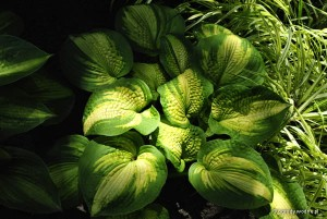 "Hosta ""Brother Stefan"" - funkia"