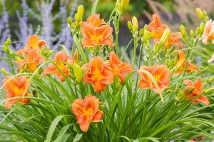 "Hemerocallis ""EveryDaylily Orange"" - liliowiec"