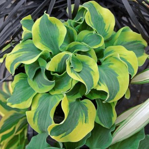 "Hosta ""School Mouse"" - funkia"