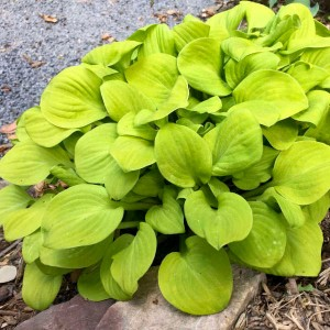 "Hosta ""Sun Mouse"" - funkia"
