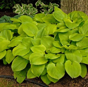 "Hosta ""August Moon"" - funkia"
