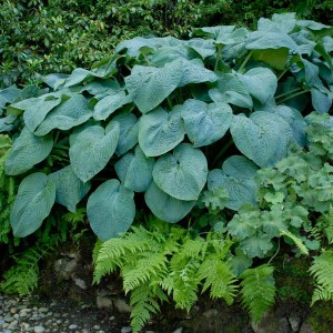 "Hosta ""Blue Angel"" - funkia"