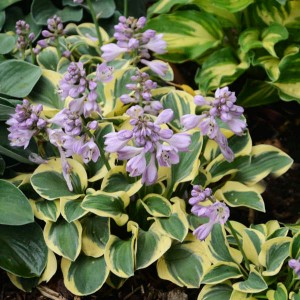 "Hosta ""Mini Skirt"" - funkia"