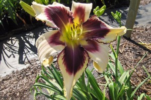 "Hemerocallis ""Eyed Twister""- liliowiec"