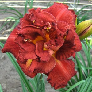 "Hemerocallis ""Shelton Holiday"" - liliowiec"