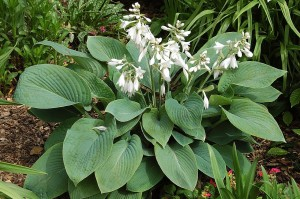 "Hosta ""Fragrant Blue"" - funkia"