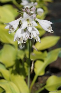 "Hosta ""Excitation"" - funkia"