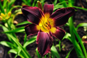 "Hemerocallis ""Purple People Eater"" - liliowiec"