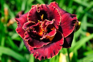 "Hemerocallis ""Night Embers"" - liliowiec"