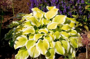 "Hosta ""Spring Morning"" - funkia"