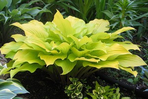 "Hosta ""Enduring Beacon"" - funkia"