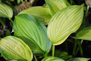 "Hosta ""Just So"" - funkia"