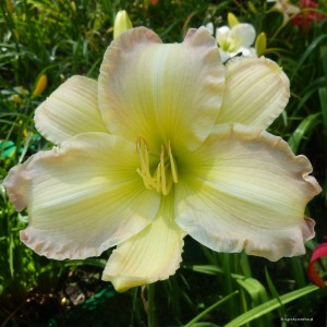 "Hemerocallis ""Big Smile"" - liliowiec"